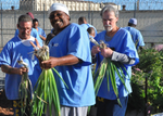 IGP participants harvesting onions.
